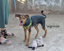 SPIKE, Hund, Pinscher-Dackel-Mix in Spanien - Bild 5