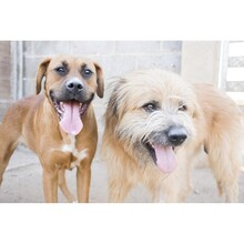 PEPE, Hund, Carea Leonés-Mix in Spanien - Bild 8