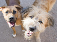 PEPE, Hund, Carea Leonés-Mix in Spanien - Bild 9