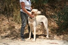 HARVEY, Hund, Labrador-Mix in Spanien - Bild 11