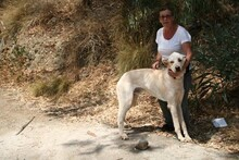 HARVEY, Hund, Labrador-Mix in Spanien - Bild 12