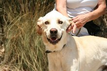 HARVEY, Hund, Labrador-Mix in Spanien - Bild 13