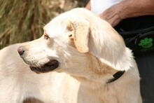 HARVEY, Hund, Labrador-Mix in Spanien - Bild 2
