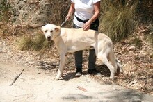 HARVEY, Hund, Labrador-Mix in Spanien - Bild 5