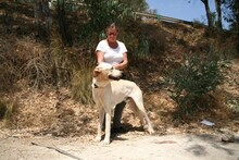HARVEY, Hund, Labrador-Mix in Spanien - Bild 6