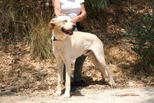 HARVEY, Hund, Labrador-Mix in Spanien - Bild 7