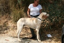 HARVEY, Hund, Labrador-Mix in Spanien - Bild 8