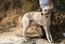 HARVEY, Hund, Labrador-Mix in Spanien - Bild 9