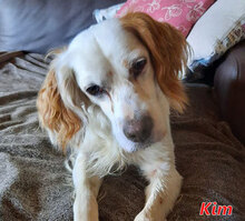 KIM, Hund, Irish Setter-Mix in Harsewinkel - Bild 1