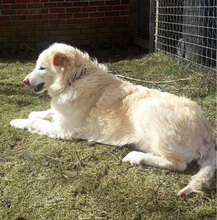 OPIMARLIE, Hund, Golden Retriever in Wiesmoor - Bild 2