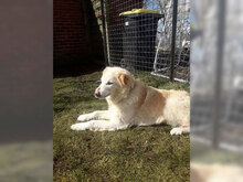 OPIMARLIE, Hund, Golden Retriever in Wiesmoor - Bild 3