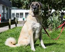 TOSUN, Hund, Kangal-Mix in Hamburg - Bild 2