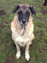 TOSUN, Hund, Kangal-Mix in Hamburg - Bild 3