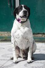 KING, Hund, Pointer-Mix in Portugal - Bild 2