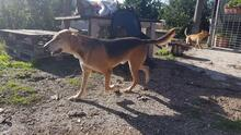 JOHNCOFFEE, Hund, Segugio Italiano-Mix in Italien - Bild 2