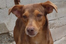 JULIO, Hund, Podenco-Mix in Spanien - Bild 1