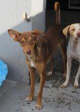 JULIO, Hund, Podenco-Mix in Spanien - Bild 3