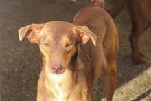 JULIO, Hund, Podenco-Mix in Spanien - Bild 4
