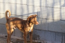 JULIO, Hund, Podenco-Mix in Spanien - Bild 6