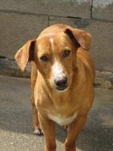 PILOTO, Hund, Podenco Maneto-Mix in Spanien - Bild 1