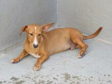 PILOTO, Hund, Podenco Maneto-Mix in Spanien - Bild 3