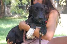 ANITA, Hund, Labrador-Border Collie-Collie-Mix in Italien - Bild 1