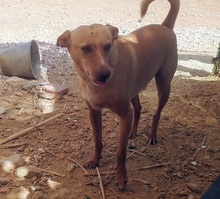 CHOPPER, Hund, Podenco-Mix in Spanien - Bild 11
