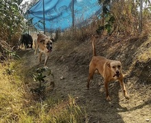 CHOPPER, Hund, Podenco-Mix in Spanien - Bild 13