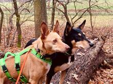 CHOPPER, Hund, Podenco-Mix in Spanien - Bild 5