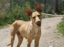 CHOPPER, Hund, Podenco-Mix in Spanien - Bild 8
