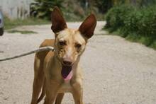 CHOPPER, Hund, Podenco-Mix in Spanien - Bild 9