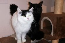 APOLLO, Katze, Langhaar-Mix in Italien - Bild 1