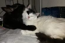 APOLLO, Katze, Langhaar-Mix in Italien - Bild 2