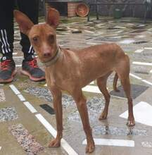 SABRINA, Hund, Podenco-Mix in Spanien - Bild 1