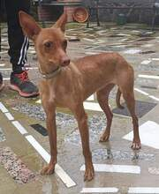 SABRINA, Hund, Podenco-Mix in Spanien - Bild 3