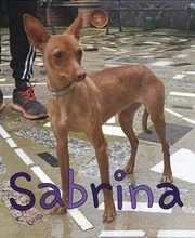 SABRINA, Hund, Podenco-Mix in Spanien - Bild 5