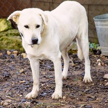 CARLOS, Hund, Labrador Retriever-Mix in Spanien - Bild 11