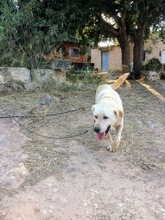 CARLOS, Hund, Labrador Retriever-Mix in Spanien - Bild 12