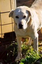 CARLOS, Hund, Labrador Retriever-Mix in Spanien - Bild 9