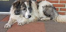 EVITA, Hund, Border Collie-Mix in Hoogstede - Bild 11