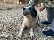 EVITA, Hund, Border Collie-Mix in Hoogstede - Bild 3