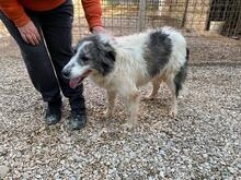 EVITA, Hund, Border Collie-Mix in Hoogstede - Bild 5