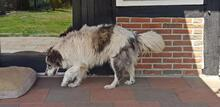 EVITA, Hund, Border Collie-Mix in Hoogstede - Bild 7