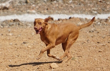 SEAD, Hund, Podenco-Mix in Spanien - Bild 10