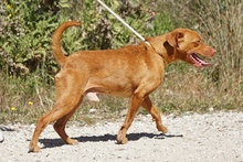 SEAD, Hund, Podenco-Mix in Spanien - Bild 2