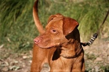 SEAD, Hund, Podenco-Mix in Spanien - Bild 5