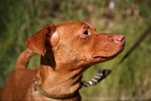 SEAD, Hund, Podenco-Mix in Spanien - Bild 6