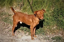SEAD, Hund, Podenco-Mix in Spanien - Bild 7