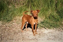 SEAD, Hund, Podenco-Mix in Spanien - Bild 8