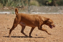 SEAD, Hund, Podenco-Mix in Spanien - Bild 9